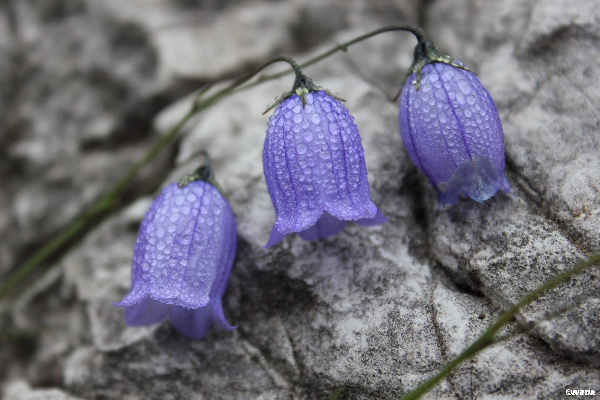 Des fleurs aux Dolomites